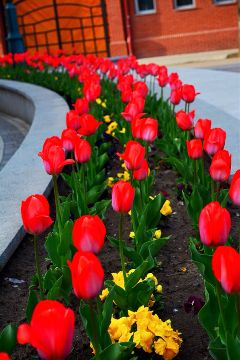 flower tulip nature spring