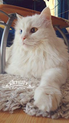 cat blueeye