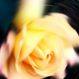photography flower love rose garten
