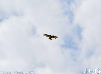 hawk bird action flying soaring