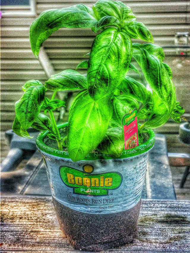 HMMM FRESH BASIL TO BE PLANTED, TOO MAKE MY AWESOME TOMATOES SAUCE..AND SOON FRESH BIG JERSEY TOMATOES ALSO FOR SAUSE AND SANDWICHES. . #photography #picsart #randomshot #colorful #spices #soemring #hdr