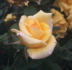 rose flower summer yellow nature