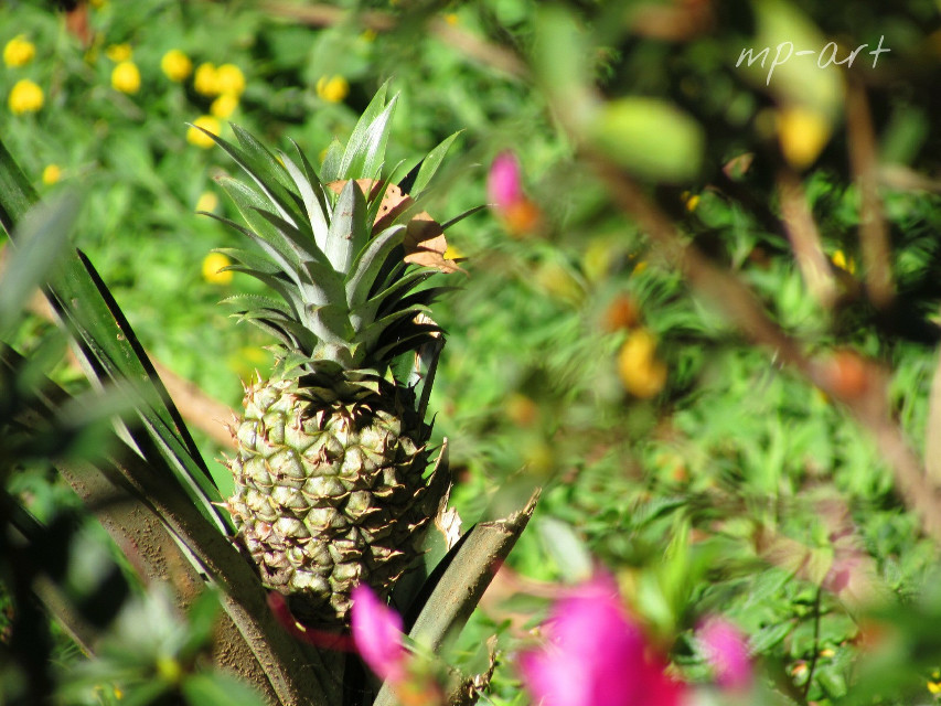#nature #photography #pineapple