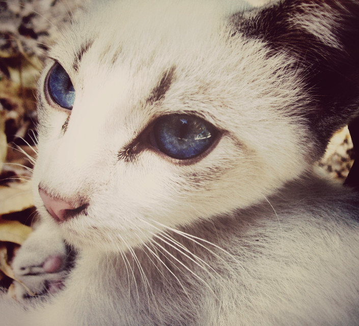 #cat #beauty #belleza #fotografia #photography #sepia  #gato