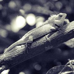 gardenlizard lizard blackandwhite