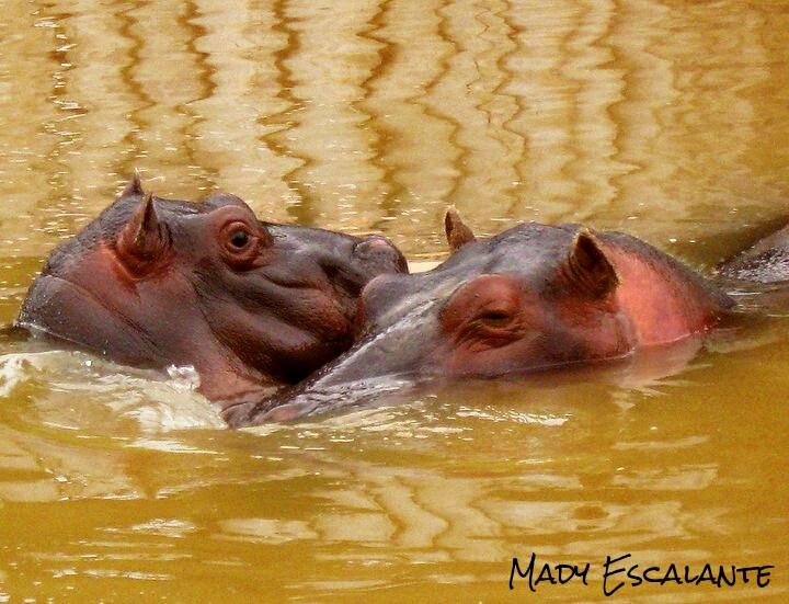 #photography #petsandanimals #hippo