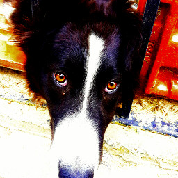 dog bordercollie lady
